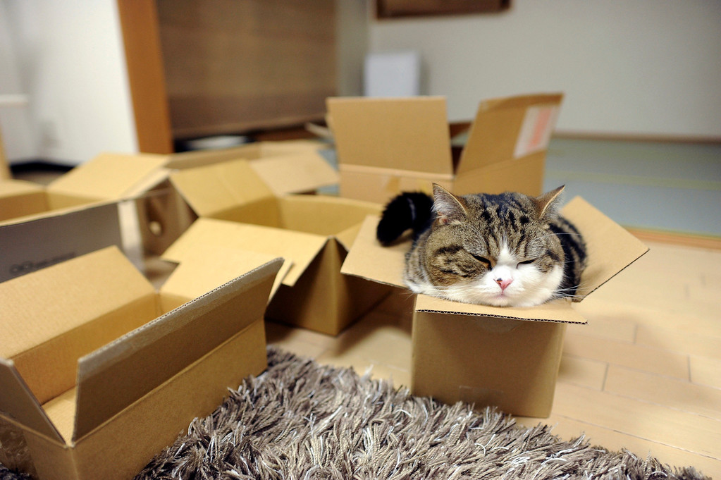 . In this May 2011 photo provided by mugumogu, Scottish fold Maru rests in a cardboard box in Japan. After years of viral YouTube viewing and millions of shares, the cat stars of the Internet are coming into their own in lucrative and altruistic ways. Roly poly Maru, the megastar in Japan with millions of views for nearly 300 videos since 2007, has three books and a calendar, among other swag for sale. (AP Photo/mugumogu)