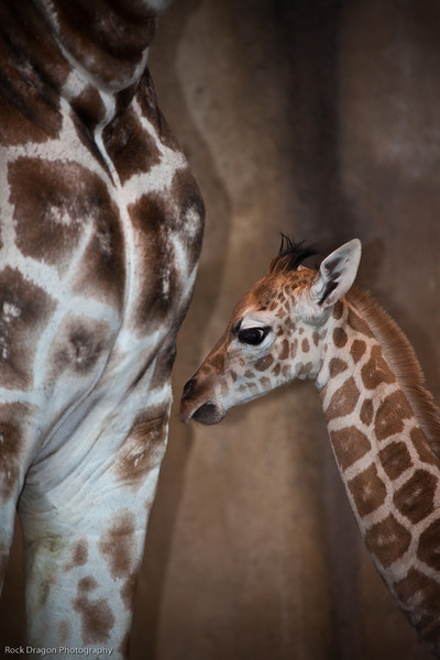 Baby Reticulated Giraffe and it's mother, Calgary Zoo Dec. 23