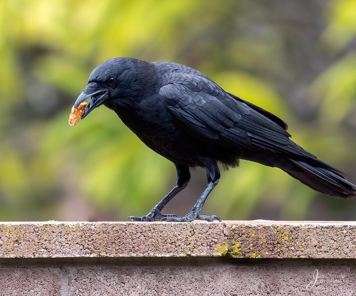 Crow American with Pretzel_MissionViejo_20200418_A75I4274.jpg