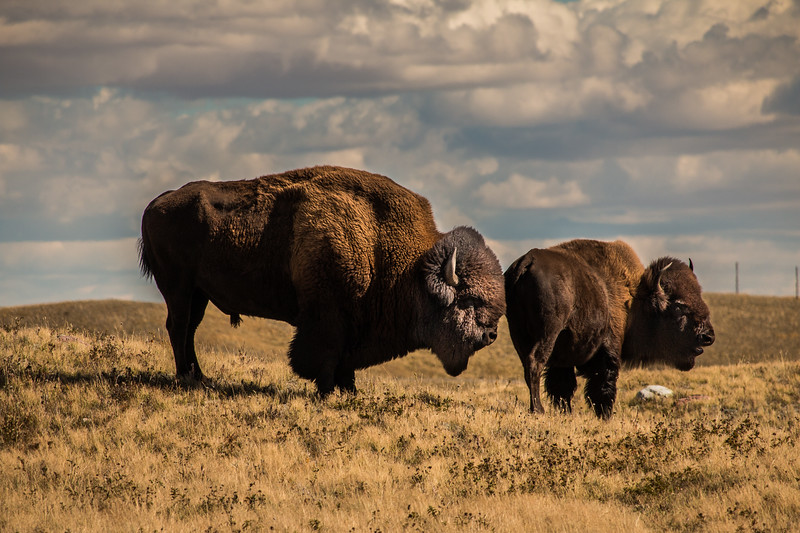 BISON, WATERTON LAKES NP, CANADA