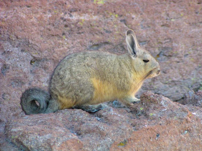 Southern Viscacha (Lagidium viscacia)