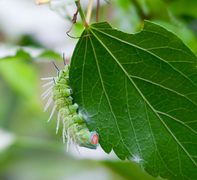 Caterpillar on Leaf – Papilio cresphontes in a Butterfly House