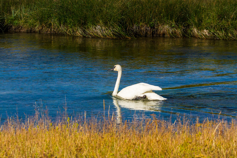 Swan on the Firehole River