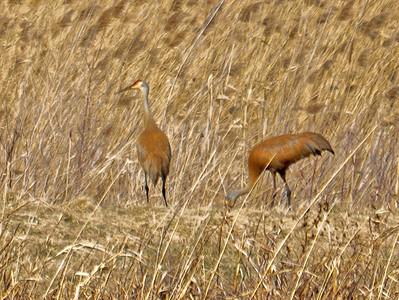 Crane - Sandhill Crane