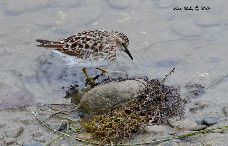 Least Sandpiper - 4/9/2016 - Del Mar, PQ Creek mouth