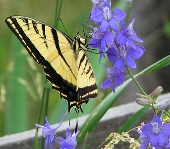 Two-tailed Tiger Swallowtails