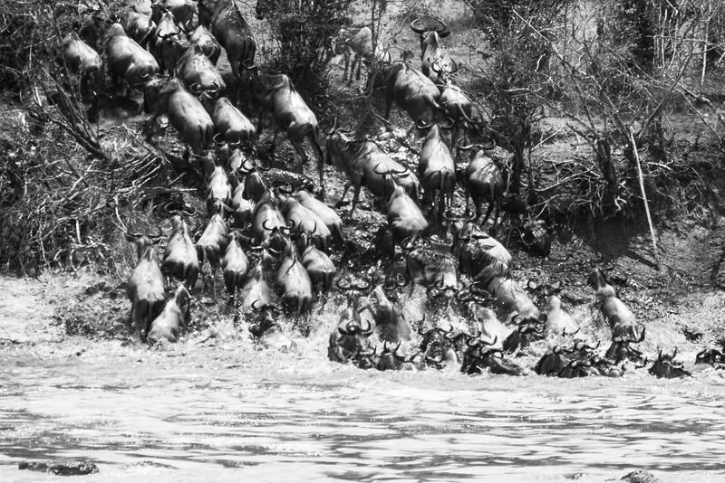 Wildebeest evade crocodile