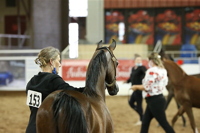 234  ANBF Weanling Champ Colt/Gelding AOTH