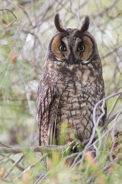 Long-Eared Owl, Mercey Hot Springs, CA
