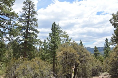 Big Bear Woodland Trail NOT CLEARED