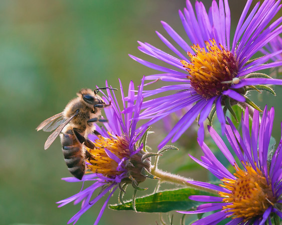 Honey Bee on Aster- 1st Place