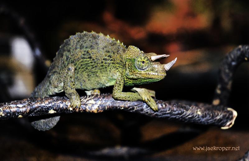 Jacksonian  Chameleon  copy.jpg