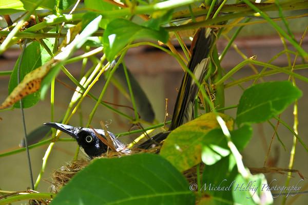 New Holland Honeyeaters Nest
