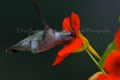 Hummingbirds Gallery I