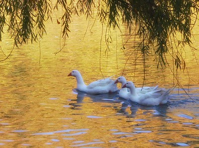 Swans, Ducks & Gooses
