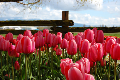 Skagit County Tulip Festival 2008