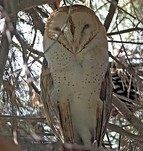 Tytonidae - Barn Owls