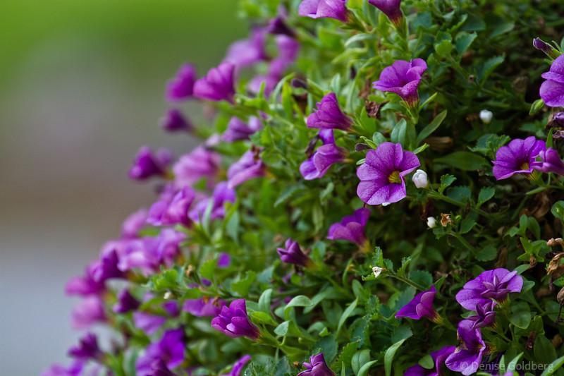 purple beauty, tiny