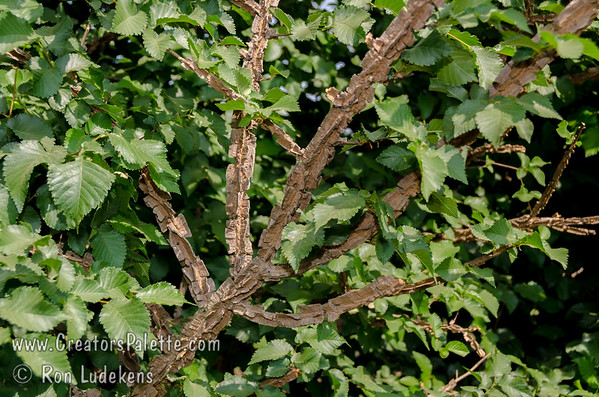Ulmus alata 'Corky' - Corky Winged Elm