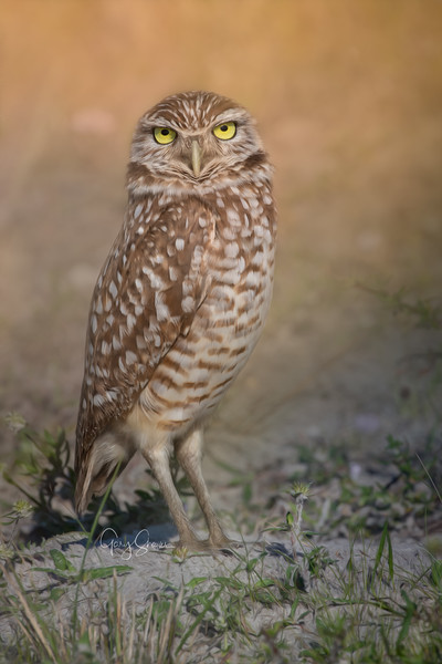 Burrowing Owl 01 WS.jpg