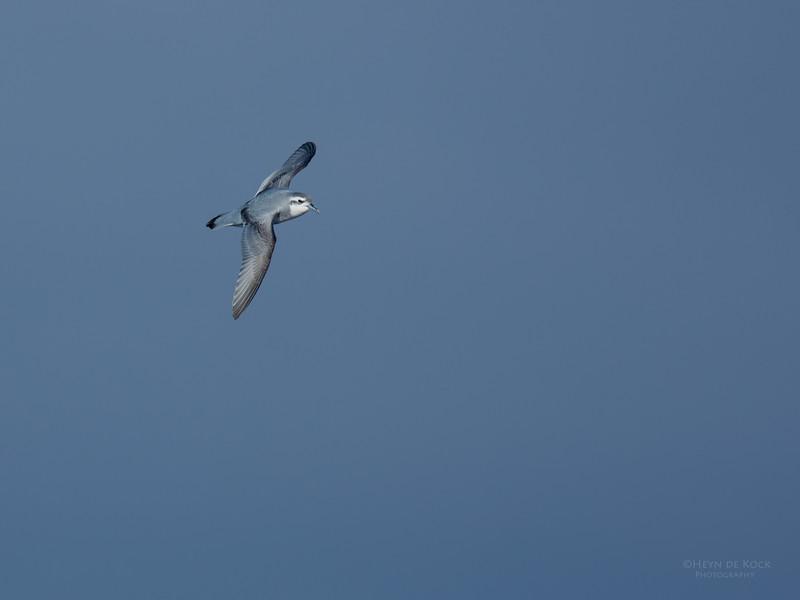 Slender-billed Petrel, Eaglehawk Neck Pelagic, TAS, July 2015-2.jpg