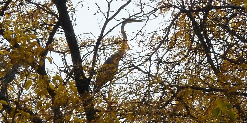 Crane in a tree.jpg