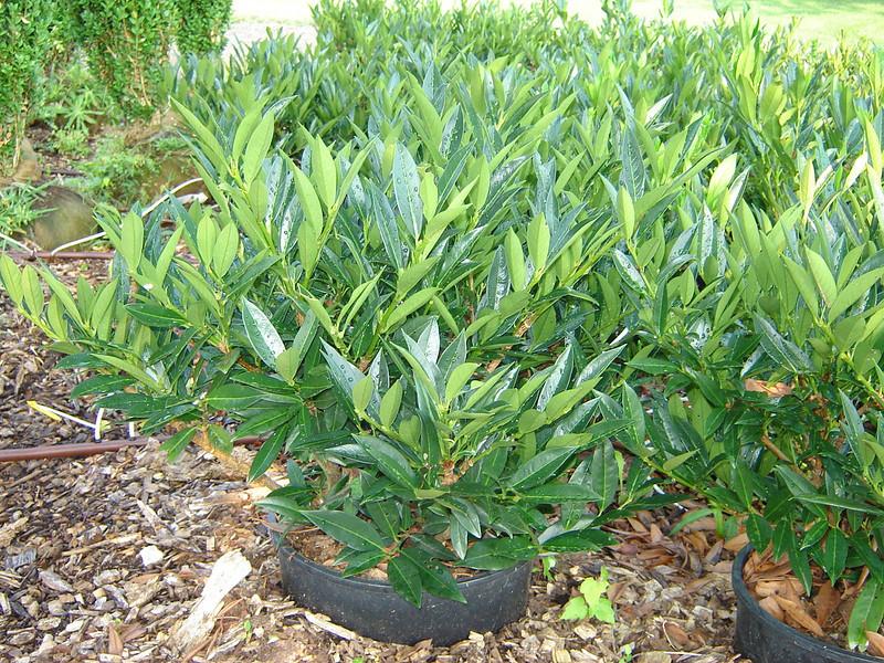 Prunus laurocerasus 'Otto Luyken'  Dwarf Cherry Laurel
