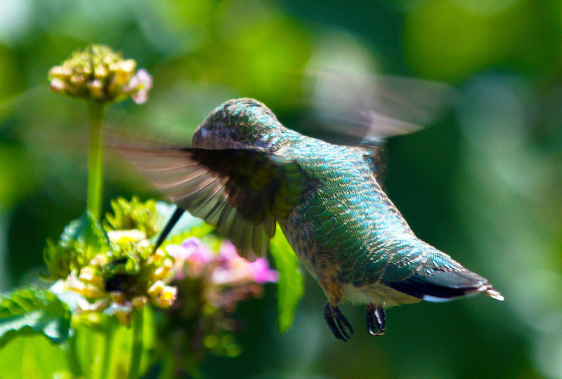 irradescenthummingbird7.jpg