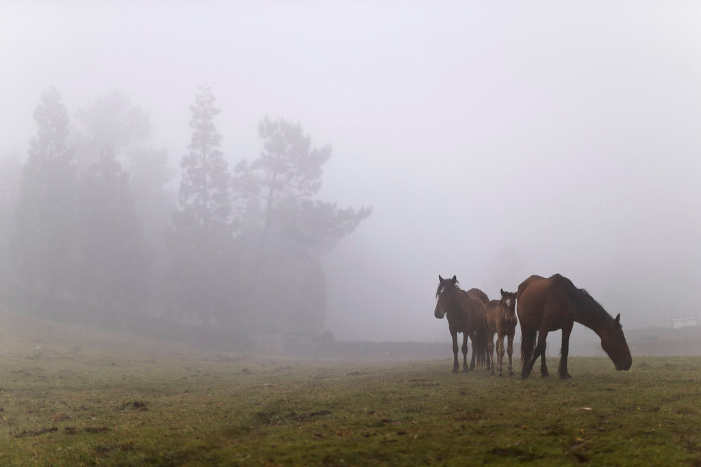 . Wild horses stand in the fog during the \'Rapa Das Bestas\' tradition in Mougas, northwestern Spain, Sunday, June 9, 2013. Rapa das bestas or Shearing of the Beasts is an ancient tradition dating from the 15th century and consists of gathering the wild horses in the mountains, placing them in a \'curro\' or corral, then shaving and branding them before releasing them in the mountains until next year. (AP Photo/Daniel Ochoa de Olza)