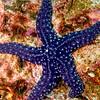 purple spot star