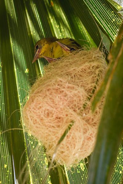 Hooded Oriole Nestlings (3)