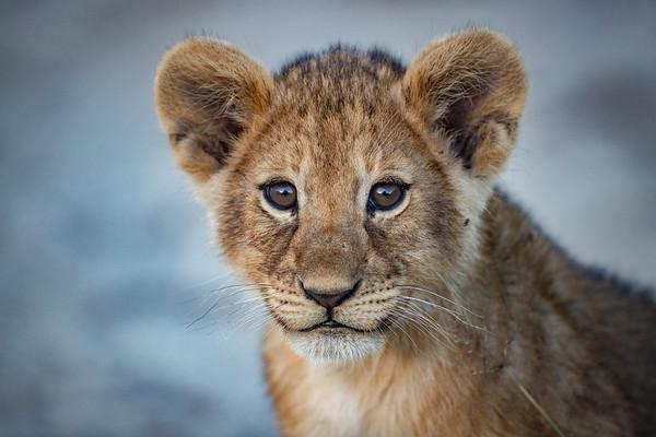 Kope Lion Photo Safari 2019