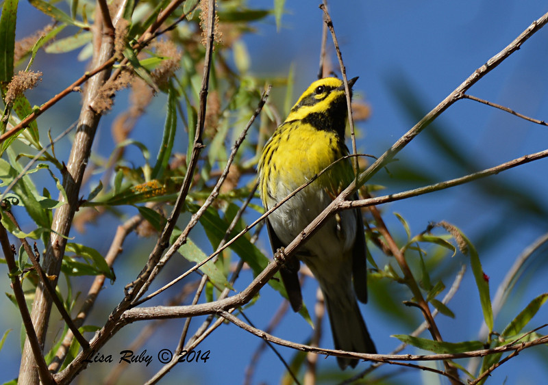 Townsend's Warbler - 3/16/2014 - south side Formosa Slough
