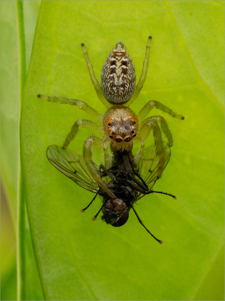 Jumping spider and fly 01