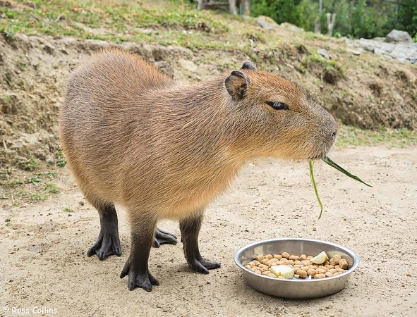 Capybaras at Wellington Zoo 2020
