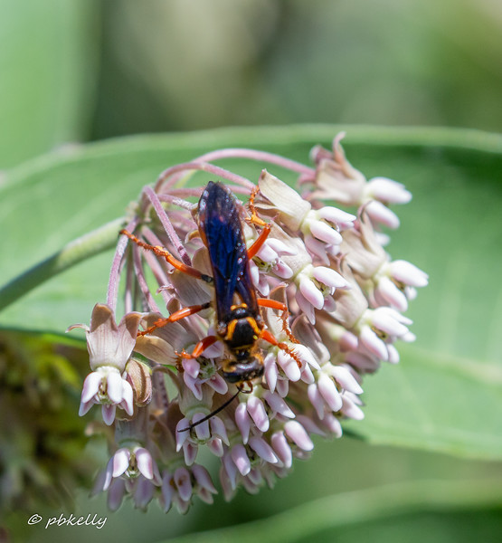 golden digger wasp 070717-1.jpg
