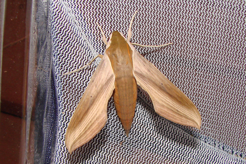 Tersa Sphinx (Xylophanes tersa) MOTH. TX: Tarrant Co. (Duhons' Fort Worth yard), 2 October 2007.