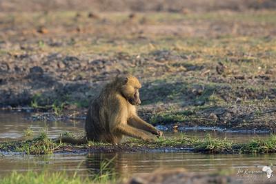Baboon picking fresh grass