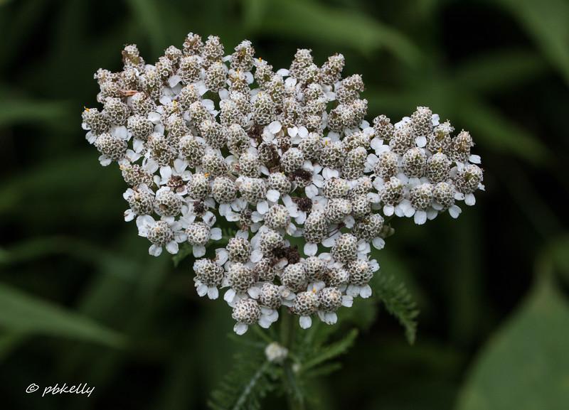 07-24-17. Yarrow flower, Archillea millefolium.