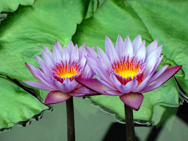 6_28_18 Water Lilies.jpg
