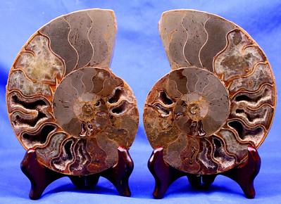 Split Ammonites 310