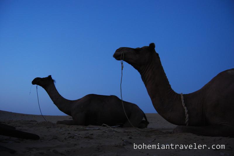 camels resting at night (3).jpg