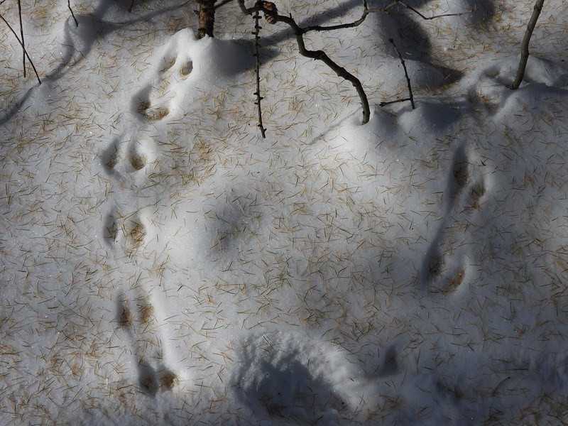 Eastern Chipmunk - tracks & trail