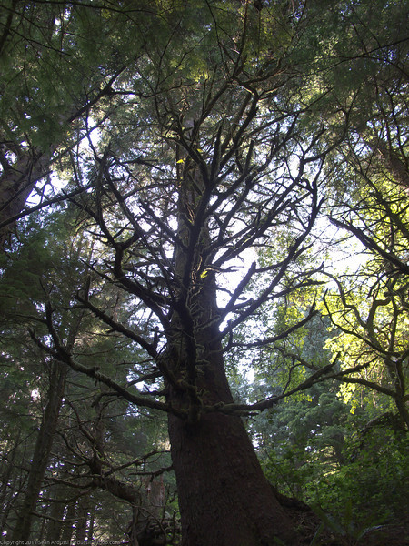 Old growth spruce near the totem pole site at Battle Bay.