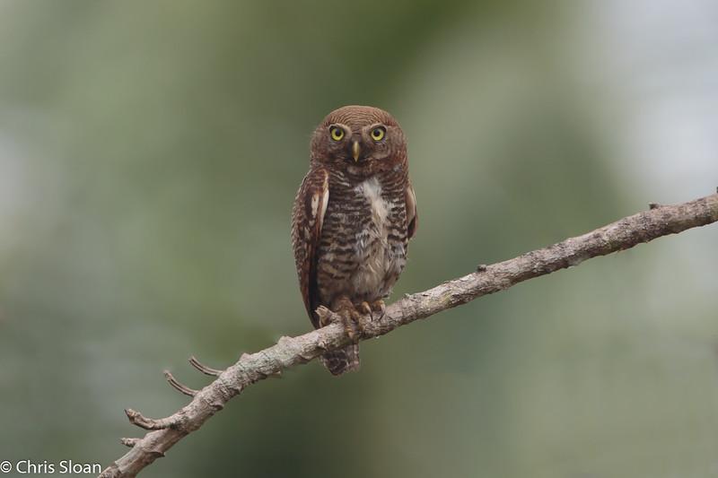 Jungle Owlet at Thattekad, Kerala, India (03-06-2015) 071-47-Edit.jpg
