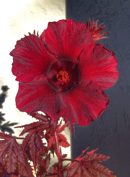 Hot Red Blossom