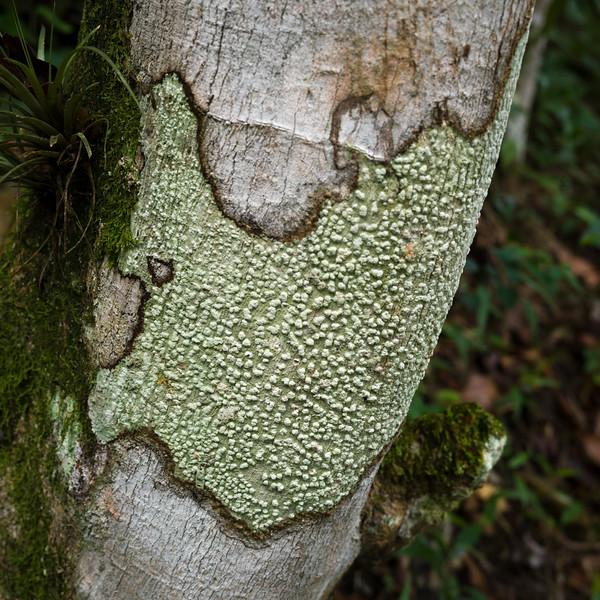 Lichen formation tree trunk, Chaa Creek Road, Chaa Creek Nature Reserve, San Ignacio, Belize