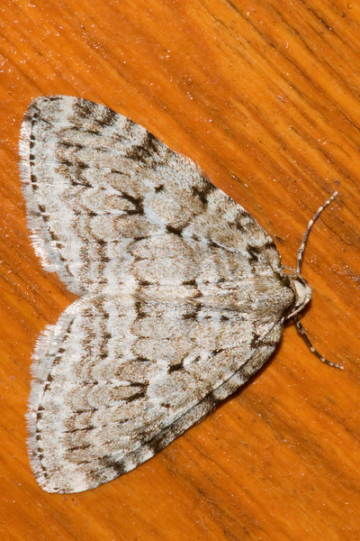 Autumnal Moth - (Epirrita autumnata) - Dunning Lake - Itasca County, MN
