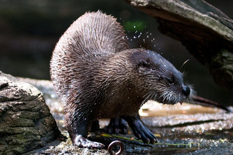 Otter shake