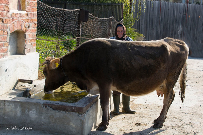 woman cow.jpg